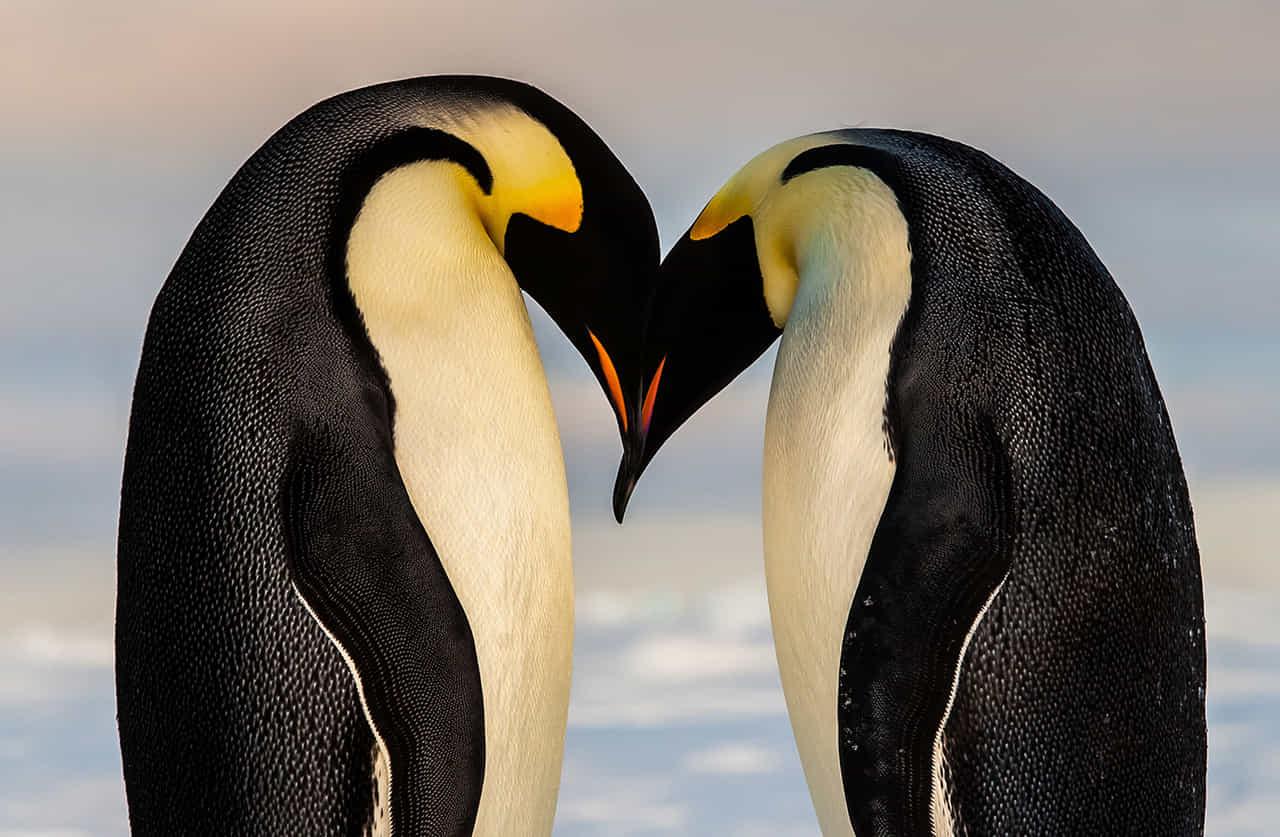 ペンギンの番が額を合わせハートマークを作っている