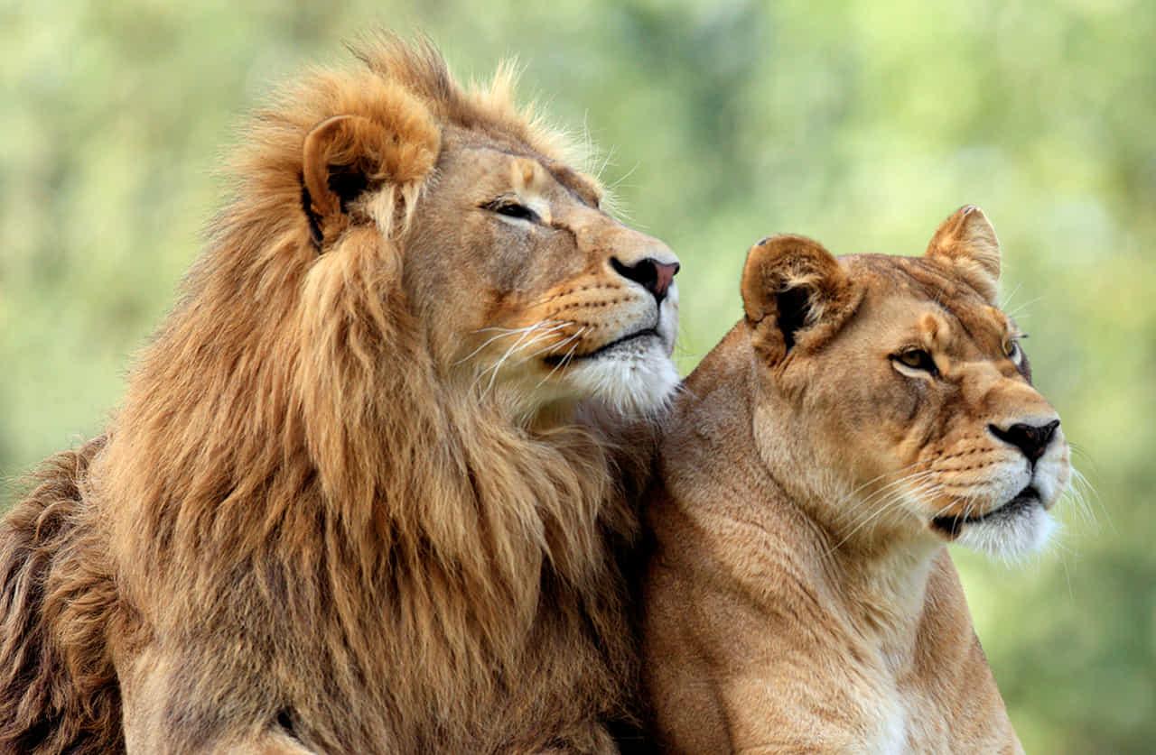 ライオンの番