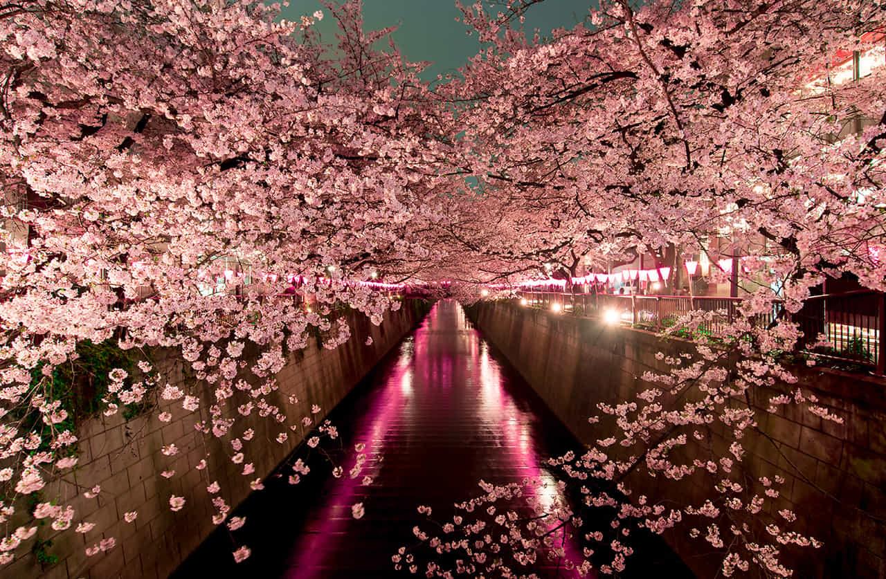 川沿いの両岸に満開の桜の夜景