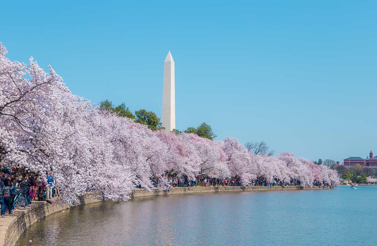 ワシントンDCの「タイダルベイスン」の満開の桜