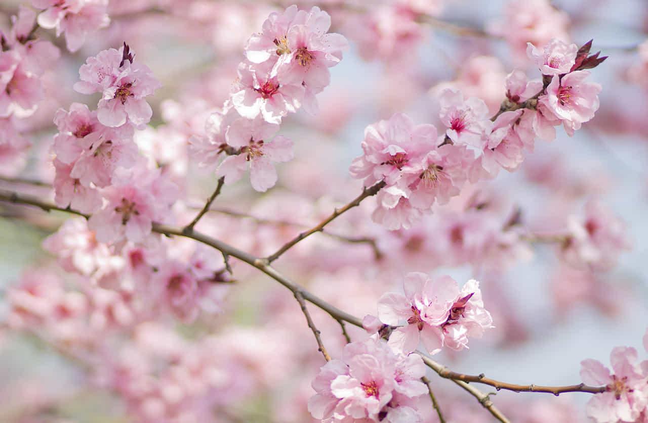 満開の桜の枝