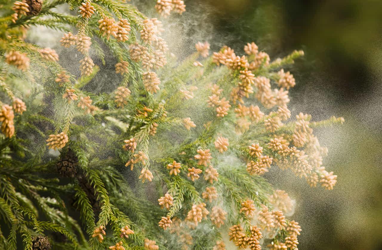 花粉をばら撒く杉の枝